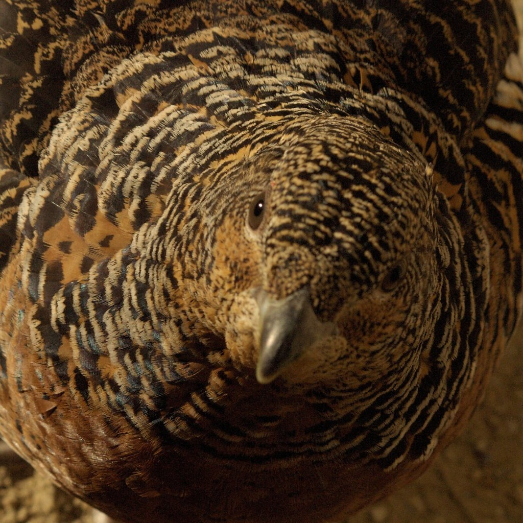Western Capercaillie (female)