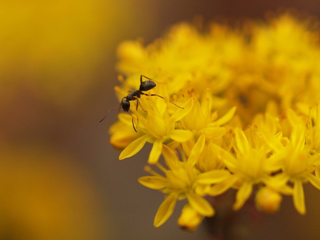 Ant on a Sedum