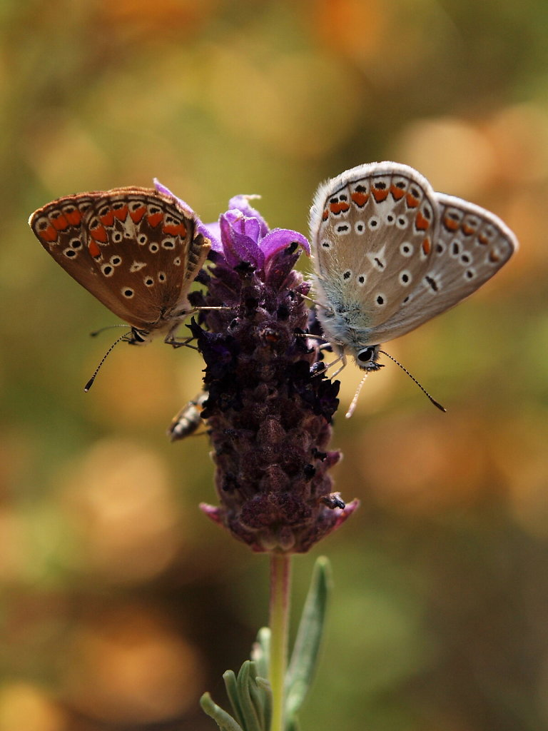 Common Blue (Polyommatus icarus), male & female, on a Lavender Flower