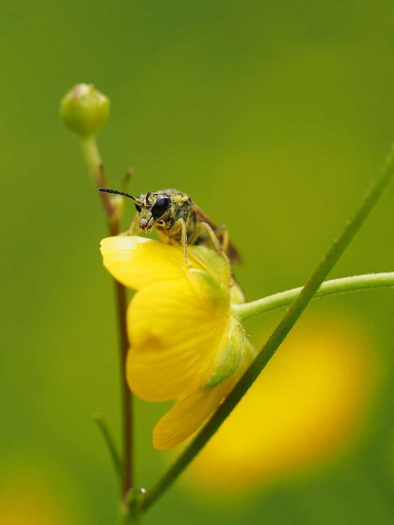 Wasp Covered with Pollen