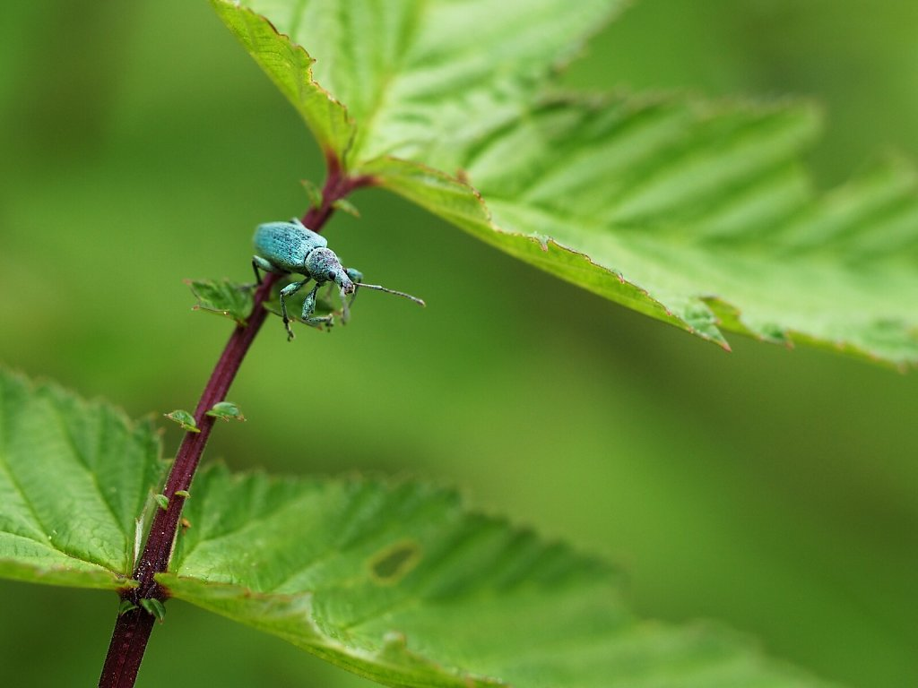 Blue in Green – Polydrusus prasinus