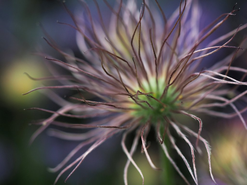 Rampion – End of Flowering