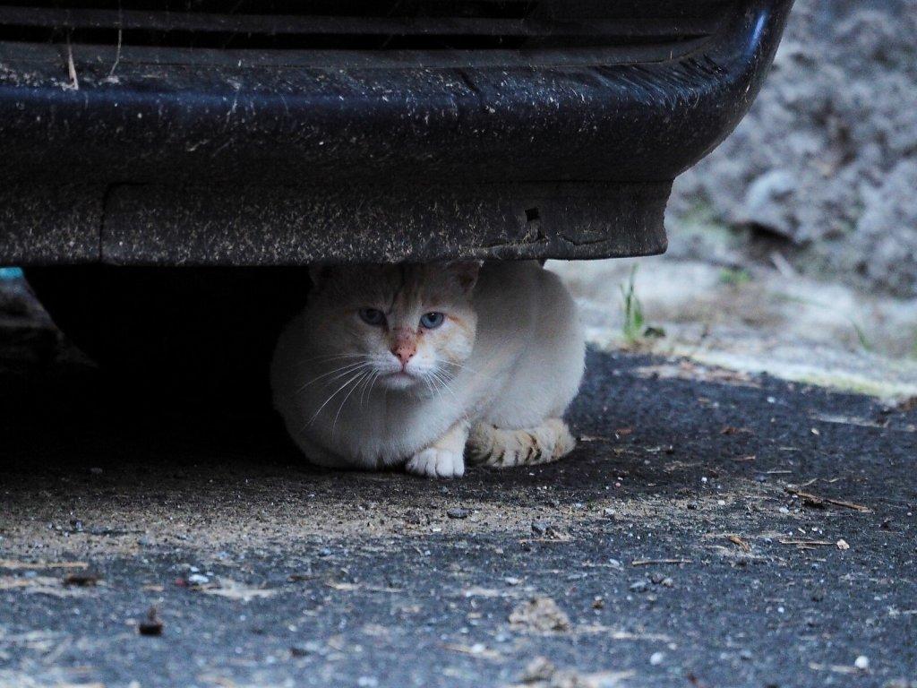 Shy Cat under a Car